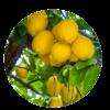 cerchio-limoni.png